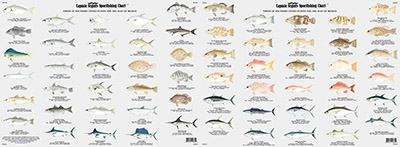 Species: Fishes of the Gulf of Mexico and Florida Identification Chart