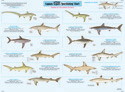 Shark Identification Chart